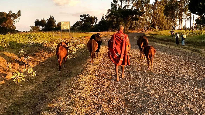 Man mit Kuhherde auf Straße in Äthiopien