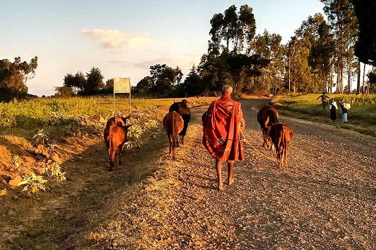 Mann mit Kühen geht auf Schotterstraße in Äthiopien