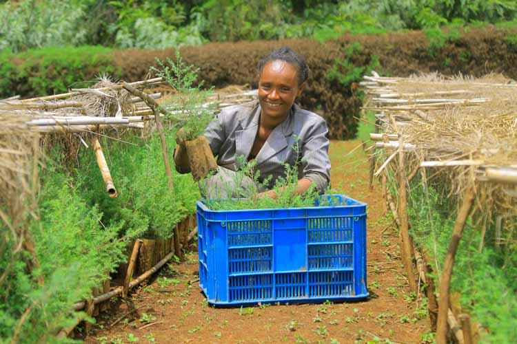 Frau in Baumschule in Äthiopien mit Setzlingen in einer Kiste